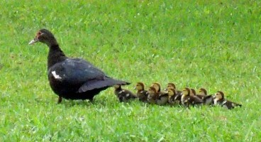 mama_duck_and_babies_800w